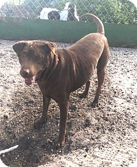 Shar Pei/Labrador Retriever Mix Dog for adoption in Boca Raton, Florida - Liddy