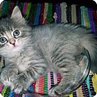 Norwegian Forest Cat Kitten for adoption in Fenton, Missouri - Clemintine