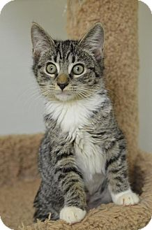 Domestic Shorthair Kitten for adoption in Atlanta, Georgia - Cathleen 161827