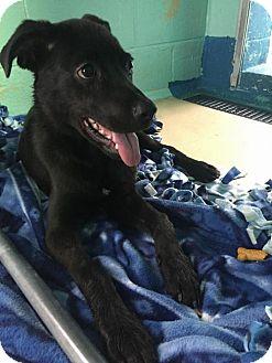 Labrador Retriever Mix Dog for adoption in Manteo, North Carolina - Mars