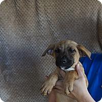Adopt A Pet :: Twinkie - Oviedo, FL
