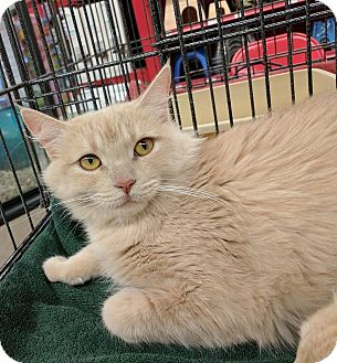Maine Coon Cat for adoption in Los Angeles, California - Felicity