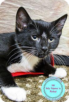 Domestic Shorthair Kitten for adoption in Staten Island, New York - Ruby