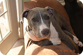 American Pit Bull Terrier Puppy for adoption in Killen, Alabama - Luke