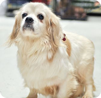 Tibetan Spaniel Mix Dog for adoption in Howell, Michigan - Jenny