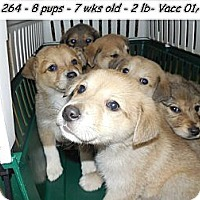 Adopt A Pet :: Golden/Shepherd pups!*ADOPTED! - Chicago, IL