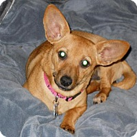 Dachshund Dog for adoption in Redondo Beach, California - Maddi