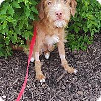 Adopt A Pet :: Alexander - Chicago, IL