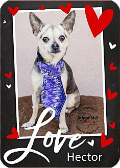Chihuahua Dog for adoption in Shawnee Mission, Kansas - Hector