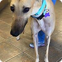 Adopt A Pet :: Martini - Tucson, AZ