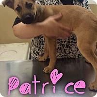 Adopt A Pet :: Patrice - Garden City, MI
