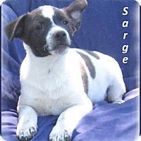 Adopt A Pet :: Sarge - Marlborough, MA