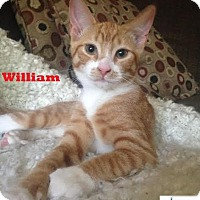 Adopt A Pet :: William - Adorable Boy! - Huntsville, ON