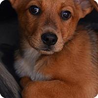 Adopt A Pet :: Chance - tucson, AZ