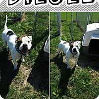 Adopt A Pet :: Diesel - Bryan, OH