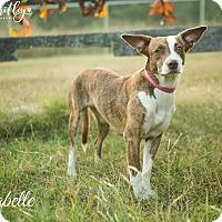 Adopt A Pet :: Clarabelle - Franklin, TN
