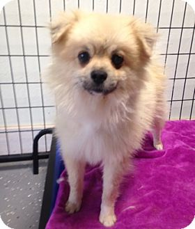 Pomeranian Dog for adoption in Temecula, California - Jimmy