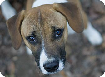 Beagle Mix Dog for adoption in Reidsville, North Carolina - Butchie
