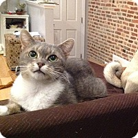 Domestic Shorthair Cat for adoption in Baltimore, Maryland - Calliope (COURTESY POST)
