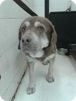 Labrador Retriever Dog for adoption in Fayetteville, West Virginia - Casper