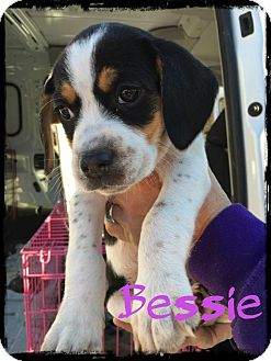 Beagle Mix Puppy for adoption in WESTMINSTER, Maryland - Bessie