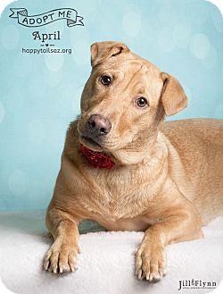 Labrador Retriever/Shar Pei Mix Dog for adoption in Chandler, Arizona - April