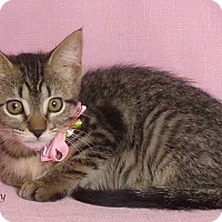 Domestic Shorthair Kitten for adoption in Kerrville, Texas - Tracy