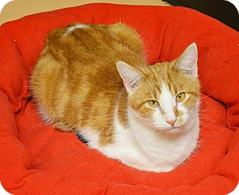 Domestic Shorthair Cat for adoption in Springfield, Illinois - Wendell