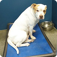 Pit Bull Terrier Mix Dog for adoption in Henderson, North Carolina - Padme (HW Pos)*