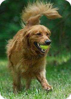 Golden Retriever Dog for adoption in White River Junction, Vermont - Hunter