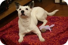 Fox Terrier (Smooth)/Bull Terrier Mix Dog for adoption in Marietta, Georgia - Gracie