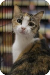 Domestic Shorthair Cat for adoption in Sacramento, California - Peanut