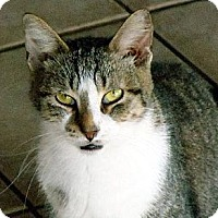 Domestic Shorthair Cat for adoption in Palm City, Florida - Topaz