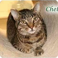 Domestic Shorthair Cat for adoption in Yorba Linda, California - Chase AKA Chelsea