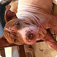 Adopt A Pet :: Gator - Eustis, FL
