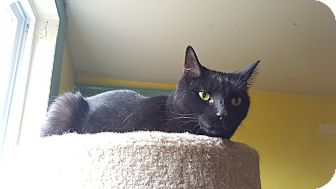 Domestic Shorthair Cat for adoption in Monroe, Connecticut - Seal