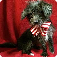 Adopt A Pet :: Mollye - Thomspn, CT