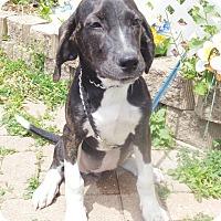 Adopt A Pet :: Shosha - West Chicago, IL