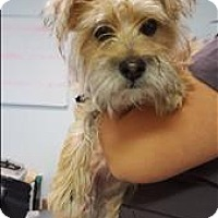 Office 365 Cherokee >> Lodi, CA - Yorkie, Yorkshire Terrier/Border Terrier Mix ...