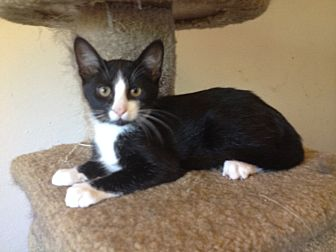 Domestic Shorthair Kitten for adoption in Santa Rosa, California - Banjo