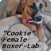 Adopt A Pet :: Cookie (in adoption process) - El Cajon, CA