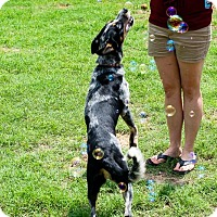 Blue Heeler/Border Collie Mix Dog for adoption in Jacksonville, Texas - Dallas
