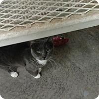 Adopt A Pet :: Mouser - Odessa, TX