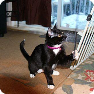 Domestic Shorthair Cat for adoption in Edmonton, Alberta - Wednesday Poderoso