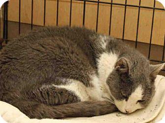 Domestic Mediumhair Cat for adoption in Pittsburgh, Pennsylvania - JOEY