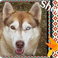Adopt A Pet :: Sheba - Stuart, VA