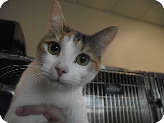Domestic Shorthair Cat for adoption in Chambersburg, Pennsylvania - S'more