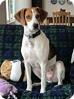 Beagle/Hound (Unknown Type) Mix Dog for adoption in Lexington, Massachusetts - Roscoe