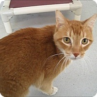 Domestic Shorthair Cat for adoption in Georgetown, Texas - Sammy