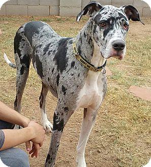 Great Dane Dog for adoption in Phoenix, Arizona - Ian